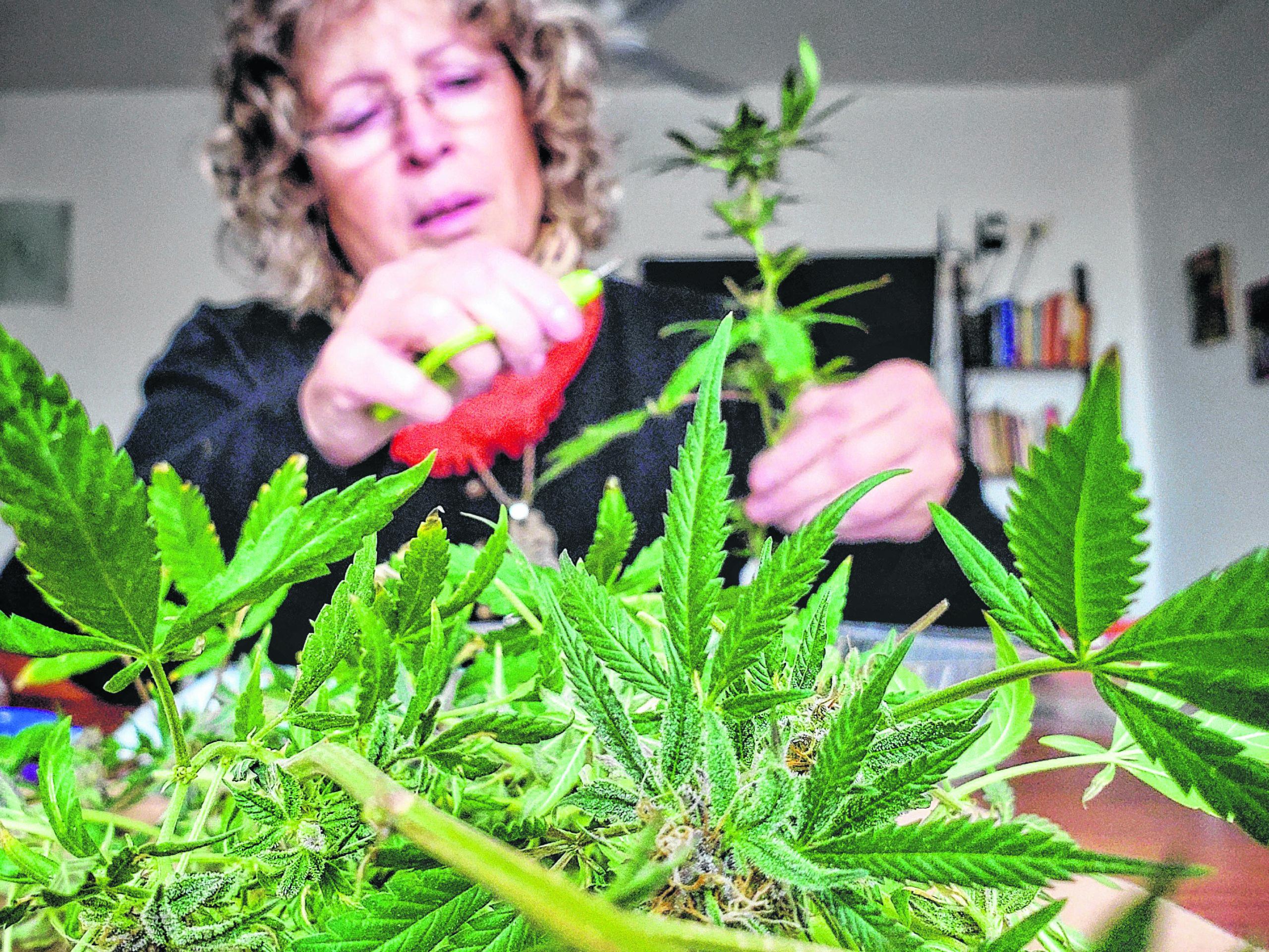 El gobieno creó un registro de usuarios de cannabis y fijó la cantidad de plantas permitidas para el autocultivo 1